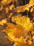 Maple leaves. Some maple leaves in autumn light stock photography
