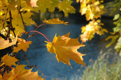 Maple leaves. Yellow maple leaves  in the autumn Royalty Free Stock Photo