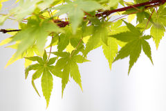 Maple leaves (Acer palmatum) Royalty Free Stock Photography