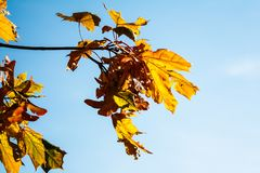 Maple leaves against the blue sky stock image