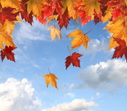 Maple leaves against a blue sky royalty free stock image