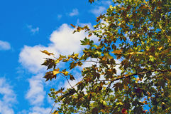 Maple leaves against blue sky Stock Photography