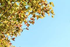 Maple leaves against the blue sky Stock Photos