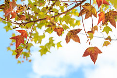 Maple leaves against the blue sky Royalty Free Stock Photo