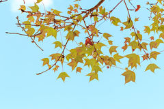 Maple leaves against the blue sky Royalty Free Stock Photos
