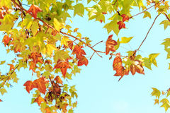 Maple leaves against the blue sky Stock Photography