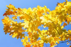 Maple leaves against the blue sky Royalty Free Stock Photography