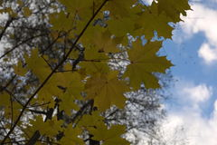 Maple leaves against the blue sky - beautiful world Royalty Free Stock Image