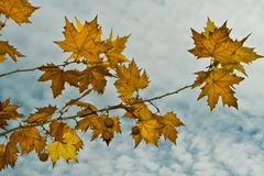 Maple leaves against the cloudy sky Stock Photography