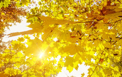 Maple leaves against the sun Stock Photos