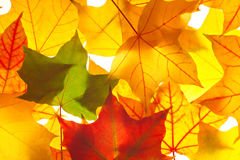 Maple leaves as background Stock Photo