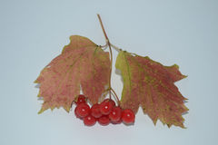 Maple leaves with ashberry. Red berry, leaf fall, autumn leaves, fall of the leaves Stock Photo