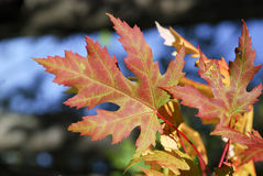 Maple leaves in automn Stock Photos