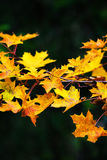 Maple leaves during autum on a branch Stock Photos