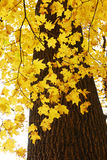 Maple leaves in the autumn Stock Photos