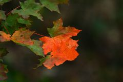 Maple leaves in autumn. Colorful maple leaves in the woods, in autumn Stock Photography