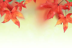 Maple leaves in Autumn Royalty Free Stock Photography
