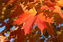 Maple leaves in the autumn. Maple leaf close up Stock Images