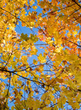 Maple Leaves in Autumn Stock Image