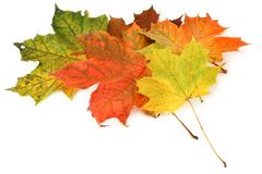 Maple Leaves in Autumn Royalty Free Stock Photo