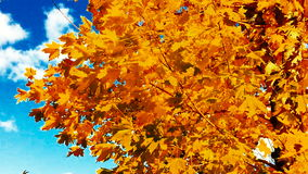 Maple leaves in Autumn stock footage