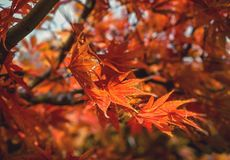 Maple leaves. In autumn is beautiful royalty free stock photography