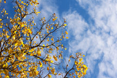 Maple leaves in autumn on blue sky background Stock Photography