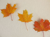 Maple leaves in autumn Royalty Free Stock Images