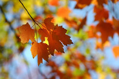 Maple Leaves in Autumn Colors Royalty Free Stock Image