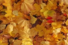 Maple leaves in autumn colors Royalty Free Stock Photo