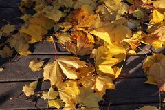 Maple leaves in autumn colors Stock Photography