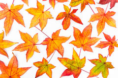 Maple leaves in autumn colors stock photo