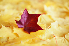 Maple leaves in autumn colours Royalty Free Stock Photos
