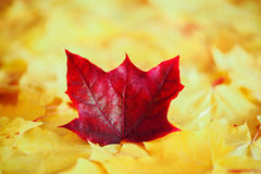 Maple leaves in autumn colours Stock Photography