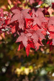 Maple leaves in autumn Royalty Free Stock Photos