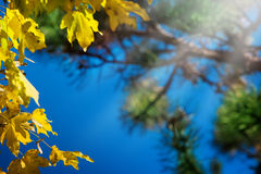 Maple leaves, autumn forest Stock Images