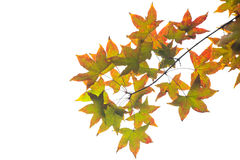 Maple leaves in autumn. Maple leaves isolated on the white background Stock Images