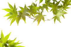 Maple leaves autumn leaf background royalty free stock photography