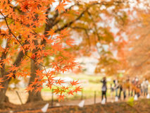 Maple leaves in autumn. Orange color maple leaves in autumn season, selective focus on some leaves stock images