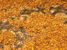 Maple leaves in autumn. Orange color maple leaves in autumn season, selective focus on some leaves stock image