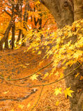 Maple leaves in autumn. Orange color maple leaves in autumn season, selective focus on some leaves stock photography
