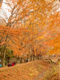 Maple leaves in autumn. Orange color maple leaves in autumn season, selective focus on some leaves royalty free stock photos