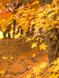 Maple leaves in autumn. Orange color maple leaves in autumn season, selective focus on some leaves stock photo