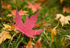 The maple leaves of autumn Stock Image