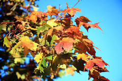 Maple leaves in Autumn Royalty Free Stock Image