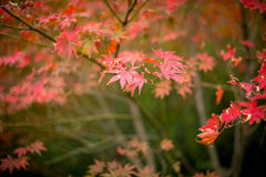 The maple leaves of autumn Royalty Free Stock Photos