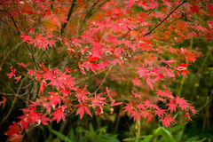 The maple leaves of autumn. In the autumn red maple leaf as fire Stock Photo