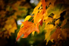 Maple leaves in Autumn showing vivid colours royalty free stock image