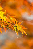 The maple leaves of autumn Stock Images