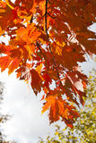 Maple leaves in autumn Stock Photos
